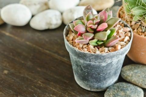 エケベリア 多肉 植物 鉢