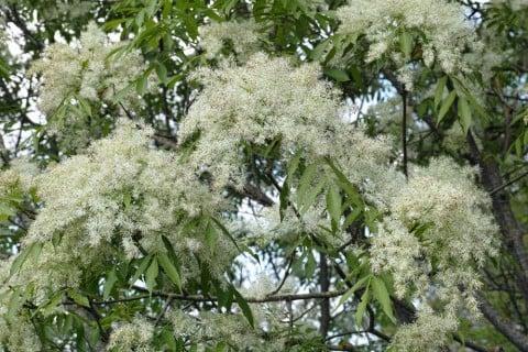 アオダモ 開花