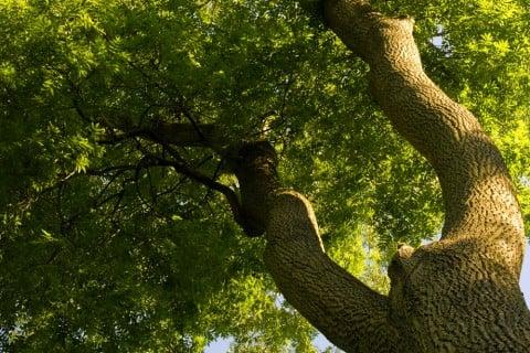 シマトネリコ 木