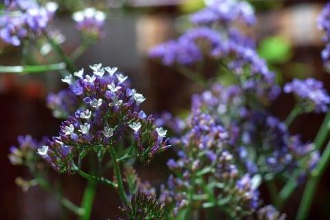 スターチス 青 花 萼 白 地植え 鉢植え 花