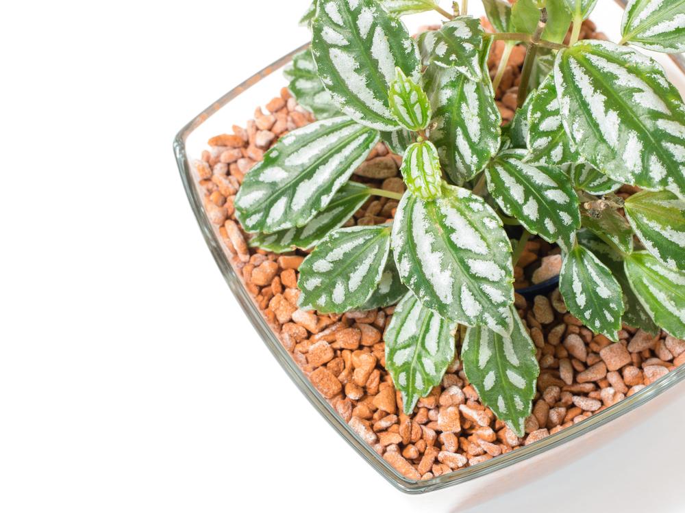 観葉植物ピレアの画像