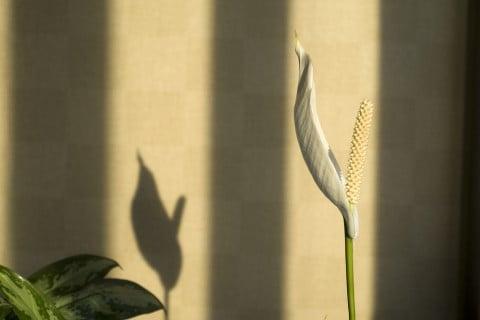 花 スパティフィラム