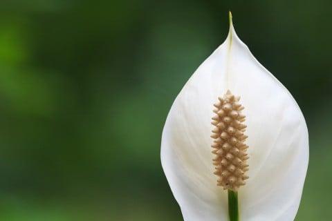 スパティフィラム 花