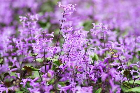 プレクトランサス 地植え 花