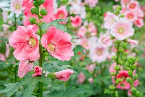 ムクゲ 木槿 ピンク 地植え