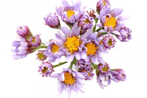 紫苑 シオン 紫 花束
