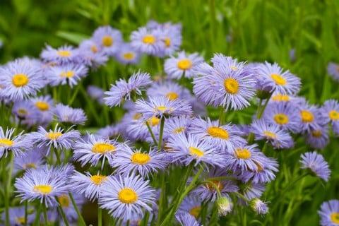 エリゲロン 花 紫