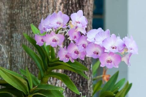 デンファレ 木 紫