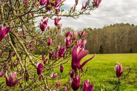 木蓮 木 庭 草原 紫