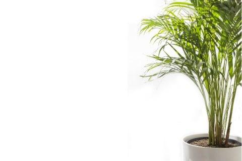 アレカヤシ インテリアグリーン 観葉植物