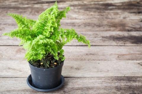 シダ 観葉植物