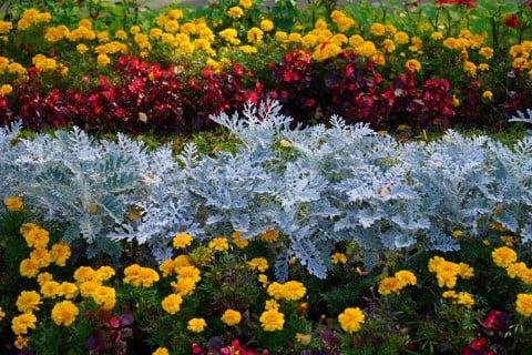 シロタエギク 寄せ植え 庭 シルバーリーフ 地植え