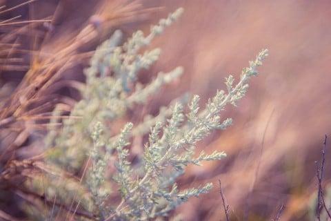 アサギリソウ シルバーリーフ 庭 地植え 葉
