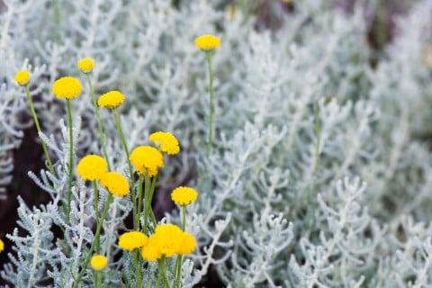サントリナ コットンラベンダー 黄色 花 シルバーリーフ 銀葉 地植え