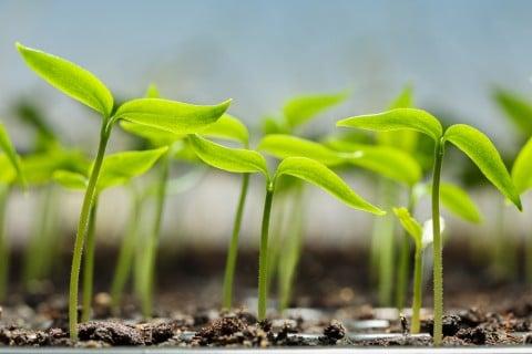 植物 間引き 新芽 本葉 種まき