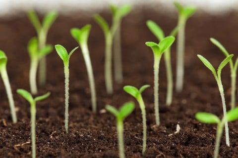種まき 新芽 間引き 本葉