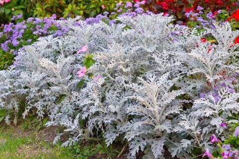 シロタエギク シルバーリーフ 銀葉 寄せ植え