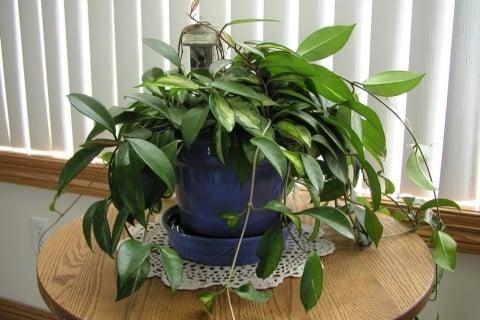 サクララン 鉢植え ホヤ