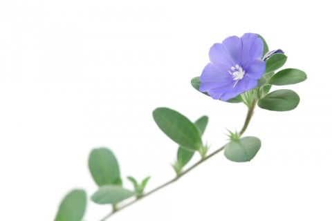 エボルブルス アメリカンブルー 花 青