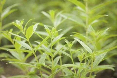 レモンバーベナ 地植え 葉