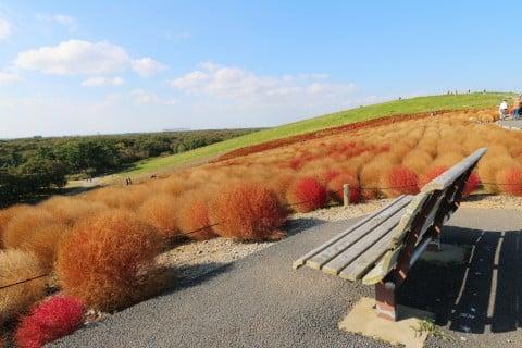 コキア ガーデニング 帚木 ほうき草 庭 地植え