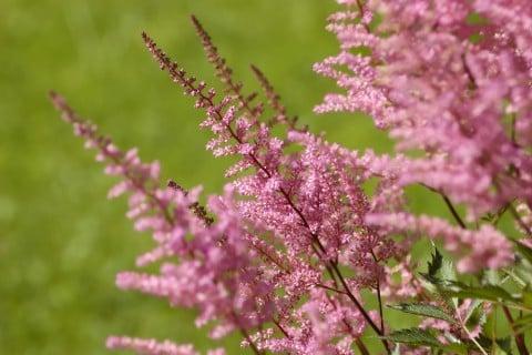 アスチルベ 花 アップ ピンク 地植え 庭
