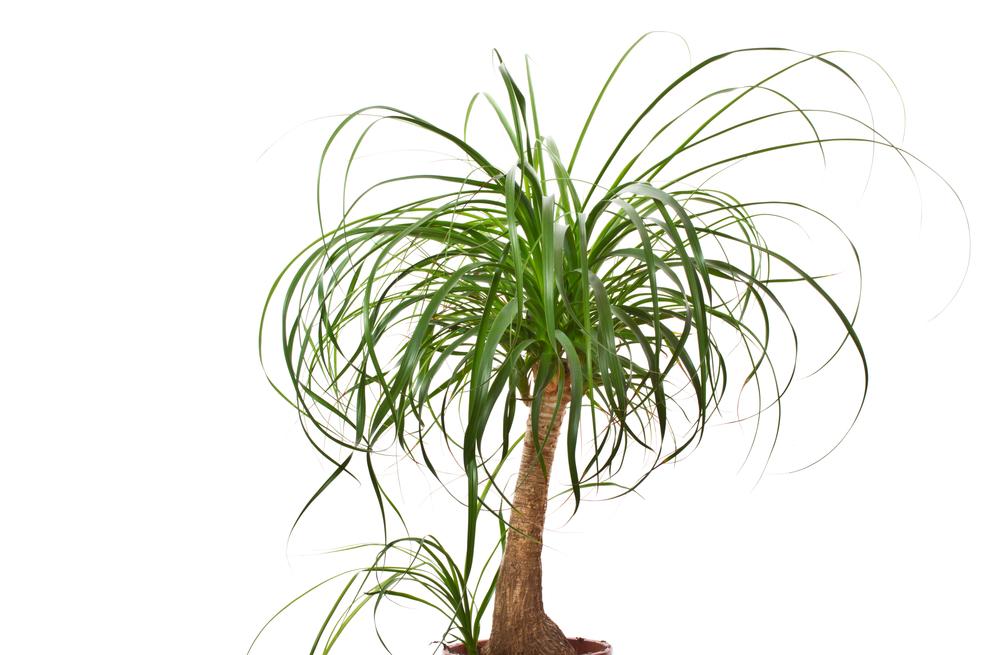 観葉植物トックリラン ポニーテールの画像