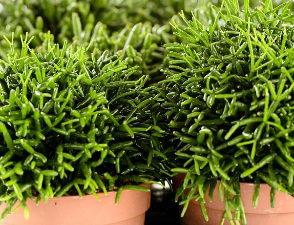リプサリスの育て方と種類 増やし方や植え替えの時期と方法は Horti ホルティ By Greensnap