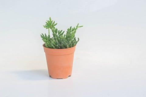 リプサリス 鉢植え 室内 小型 ミニ鉢