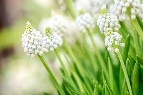 ムスカリ 白 花 地植え 品種 種類