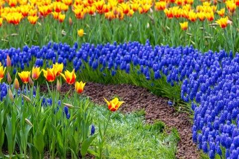 ムスカリ チューリップ 寄せ植え 花壇 春 地植え