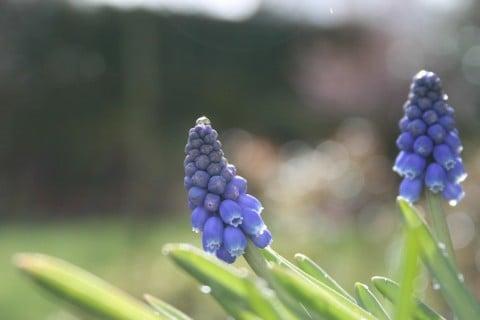 ムスカリ 花 アップ 青 剪定 茎 伸びすぎ