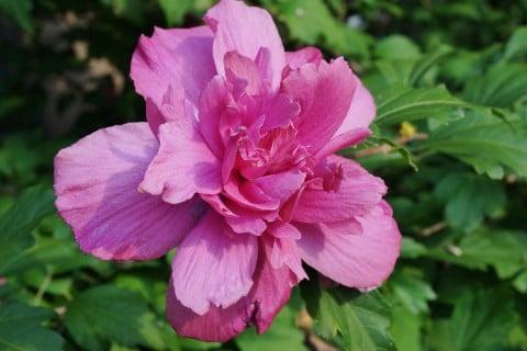 ムクゲ 木槿 八重 ピンク 地植え 花 アップ