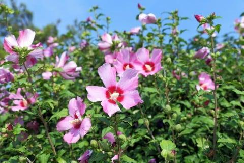 ムクゲ 地植え 花壇 空 ピンク