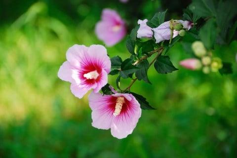 ムクゲ 木槿 枝 剪定 花 ピンク
