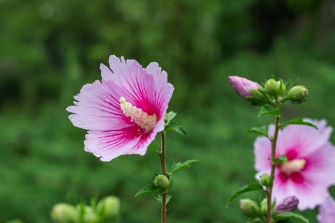 木槿 花 ムクゲ ピンク 地植え 庭
