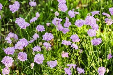 スカビオサ 花 紫 松虫草 マツムシソウ 地植え 庭