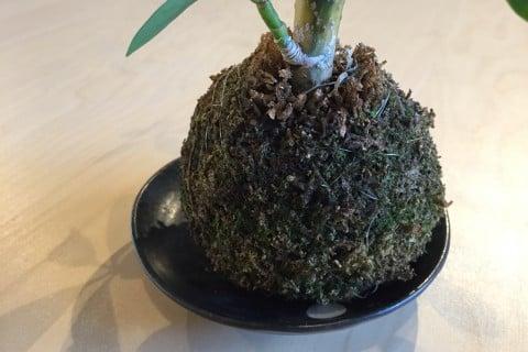 苔玉 アップ 作り方 シェフレラ カポック