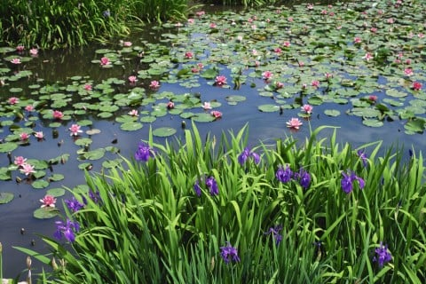 杜若 池 燕子花 カキツバタ 花 紫 地植え