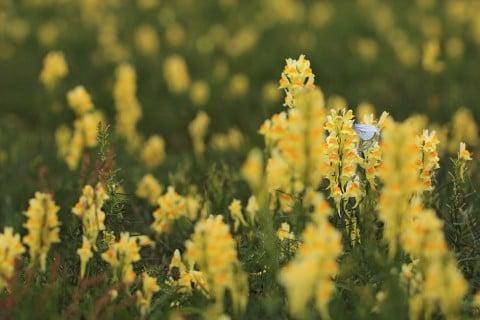 リナリア 花 黄色 姫金魚草 地植え 庭