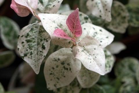 ハツユキカズラ 初雪葛 地植え 葉っぱ ピンク 白 緑 斑