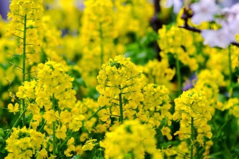 菜の花 種類 品種 黄色 花 地植え ナノハナ