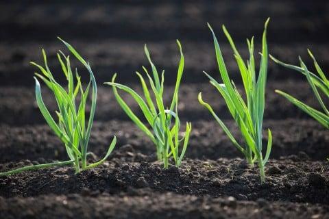 葉ネギ 苗 畑 植え付け 苗植え