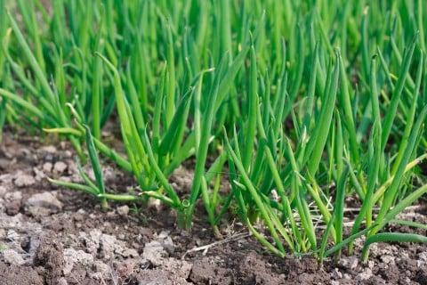 葉ネギ 土寄せ 土 畑 地植え 育て方 栽培 九条ネギ