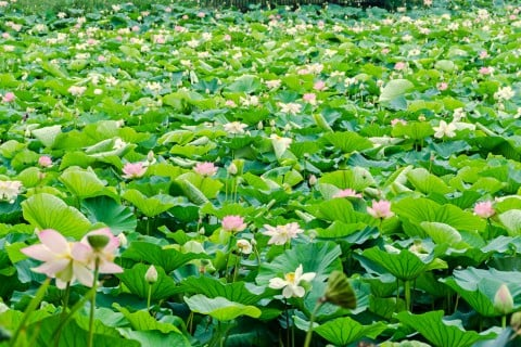 蓮 水生植物 株 いっぱい 花 ハス