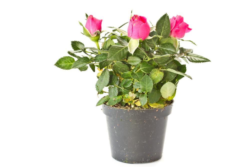 薔薇 バラ 花 鉢植え