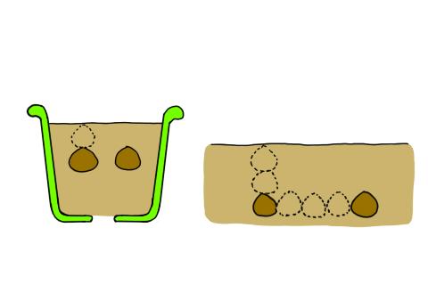 サフラン 鉢植え 球根 植え付け