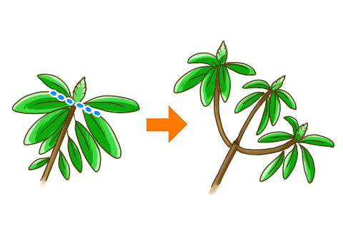 シャクナゲ 剪定 芽摘み