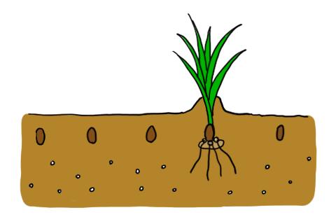 フリージア 地植え 定植 球根