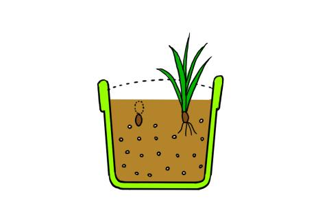 フリージア 鉢植え 球根